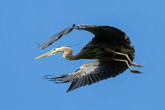 Another Great Blue Heron in Flight (jeff_a_goldberg) Tags: summer illinois unitedstates greatblueheron barrington lcfpd foxrivermarina lakecountyforestpreservesdepartmentlcfpd