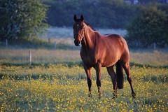 Quest (PhotoCet) Tags: morning horses horse caballo cheval bay quest cavallo pferd buttercups hestur photocet