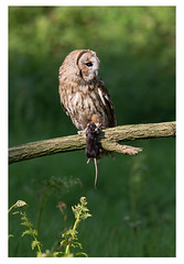 Tawny Owl with prey (Bernard Todd) Tags: with owl prey tawny