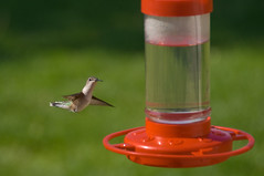 Hovering (shuttermeister) Tags: bird backyard hummingbird birdfeeder missouri