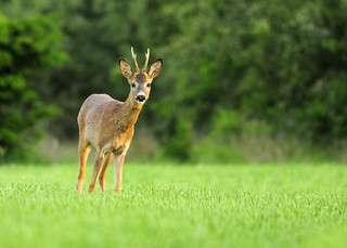 Curious roe deer buck