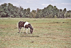 Ride a Painted Pony (Photographybyjw) Tags: ranch trees horse green film field grass rural nice nikon rust open view ride shot farm painted country north some an using pony carolina fields enjoying f4 photographybyjw