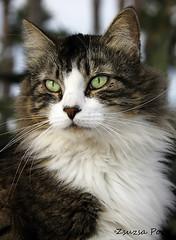 Flami (Zsuzsa Poór) Tags: pet pets animal cat animalplanet mascotas coth canoneos50d kittysuperstar kissablekat bestofcats kittyschoice canonistas catmoments coth5 vg~catsgallery sunrays5