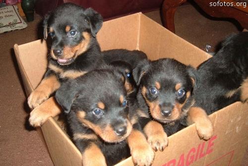 Filhotes de cachorros 76