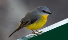 Yellow Robin-7239 (rawshorty) Tags: birds australia canberra act rawshorty
