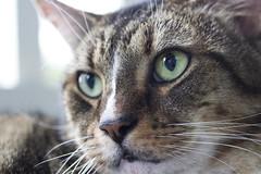 Hunter (DFChurch) Tags: pet cat feline tabby hunter