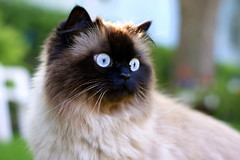 Violette (chicozen) Tags: pet cats cute animal cat kitten feline chat kitty catnipaddicts