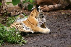 Panthera tigris altaica 3