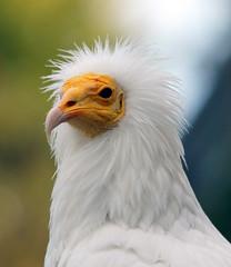 Egyptische aasgier (CharmFocus) Tags: birds sony vogels sigma avifauna a77 gier roofvogels aasgier egyptische 150500 slt77 slt77v