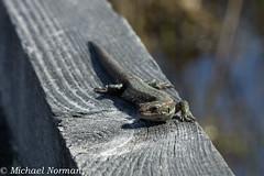 Skogsödla, Zootoca vivipara (MeteorologMike) Tags: reptile lizard ödla fysingen skogsödla strömsgård