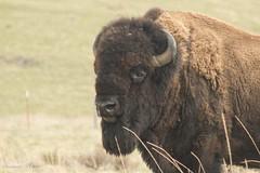 Tammy Miner - bison