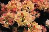 I COLORI DELLA NATURA. (Salvatore Lo Faro) Tags: italy parco verde nikon italia milano rosa fiori fiore rosso lombardia bellezza esposizione d300 2015 montanelli orticola floreale