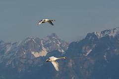 Couple of swans (bertrandwaridel) Tags: lake mountains alps bird birds switzerland swan couple suisse lausanne swans ouchy lakegeneva vaud lakeleman lausanneouchy