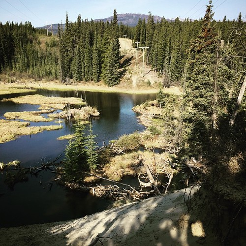 Boreal Worlds trail behind #Yukon College has views of a beaver lodge and dam #yxy #wildlife Beavers are a keystone species that improve the environment by making wetlands that are habitat for moose, frogs and songbirds. As well, wetlands filter sediment