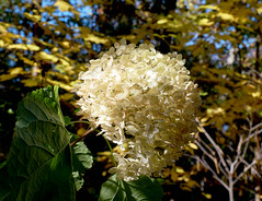 Cant and Canopy (ggppix) Tags: autumn green fall colors yellow wisconsin gold leaf midwest madison hydrangea droop hortensia captureonepro danecounty dormancy flowercluster pagodadogwood fujifilmxpro1 garyglenprice fujinonxf18135f3556rlmoiswr