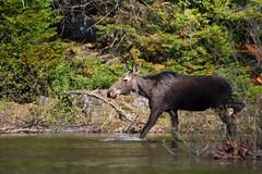 Orignal femelle (Danny Lamontagne) Tags: wild canada animal forest canon moose wilderness mauricie animale sauvage faune orignal femelle parcdelamauricie
