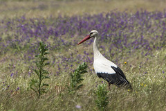 hvid stork-20 (S. Nysteen) Tags: spain extremadura whitestork ciconiaciconia hvidstork saucedilla