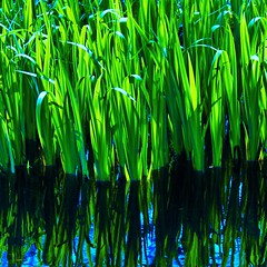 Close Enough to Really Touch (eterem) Tags: blue reflection green nature water colors leaves lines canon wednesday square photography eos photo spring saturated close natural bright artistic personal quote expression edited curves touch may reflected squareformat saturation emotional really intimate squared edit intimacy feelings saturate tactile 2015 bsquare watergrass enought leobuscaglia organiclines emotionalintimacy eos1100d