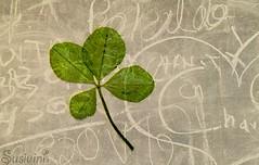 Luck - 141:365 (susivinh) Tags: luck fourleafclover shamrock suerte trebol fourleaves trebolcuatrohojas