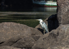 Birds of the nile-10 (osamaalipl) Tags: naturaleza bird heron nature water beautiful beauty birds rock river agua rocks colorful gray egypt nile granite egipto riverbank aswan pjaro  nilo granito hardlight      osamaali