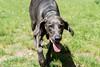 Hello! (VanaTulsi) Tags: dog weimaraner weim blueweimaraner vanatulsi blueweim