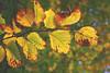 Leaves (Sareni) Tags: sareni slovenia slovenija maribor mb leaf leaves list lisce colors boje light svetlost mute vintage fall autumn jesen september 2010 twop
