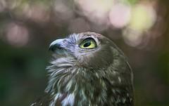 Aim for the stars (rachelsloman) Tags: barkingowl owl bird