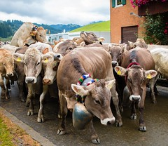 viehscheid (-j0n4s-) Tags: flickr art animals animalplanet nature color j0n4s tamron70300 tamron 70300 canon 70d cow cows wild wildlife gunzesried germany allgu travel travelphotography cattle cattledrive valley alm alps bavaria