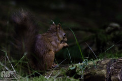 2016-09-21-024 (Andy Beattie Photography) Tags: andybeattie andybeattiephotography england europe halifax hawes mammal nature naturephotographer naturephotography northyorkshire photographer photography portraitphotographer redsquirrel rodent sciurusvulgaris squirrel uk weddingphotographer westyorkshire wildlife wildlifephotographer wildlifephotography yorkshire