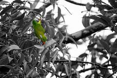 Upside down (malc1702) Tags: vernalhangingparrot hangingparrot parrot birds wildlife nature animals smallbirds indianbirds asianbirds upsidedown tree leaves selectivecolour nikond7100 tamron150600 flickrunitedaward