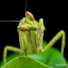 Mantis (Creobroter sp.) - PA120075 (nickybay) Tags: singapore durianloop macro hymenopodidae mantis meantodea creobroter nymph