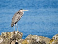 Great Blue Heron (Seth GaleWyrick) Tags: olympus omd em5 panasonic100400 bird greatblueheron ocean wildlife tofino britishcolumbia canada water rocks animal