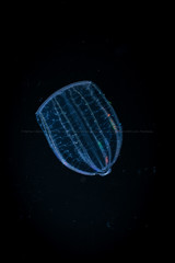 Beroe sp 1 (runwildtv) Tags: beroe ctenophore beating bioluminescent cillia closed color colorful colors colourful colours comb diffraction jelly luminescent marine mouth plankton predatory pretty rainbow slow