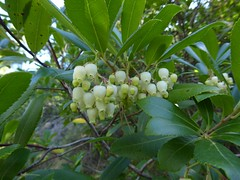 Arbutus unedo L. -  Strawberry Tree (Peter M Greenwood) Tags: arbutusunedo arbutus unedo strawberrytree strawberry tree
