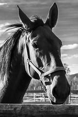 Cavallo (Nicola Franzoso Naio) Tags: primopiano canon monocrom canon550d horse cavallo bianconero