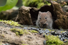 Plenty (Andrew_Leggett) Tags: woodland woodlandfloor eating cute closeup vole plenty food store larder small mammal expression gesture