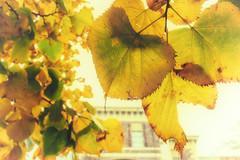 Fall (EiaOlaf) Tags: fall winter rivoli italy italian autumn leaves leaf castle yellow colour nikcollection colorefex lightroom canon
