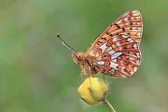 Pearl-bordered fritillary (ildiklaskay) Tags: papillon schmetterling falter lepke insekt insecte rovar boloriaeuphrosyne pearlborderedfritillary fritillary silberfleckperlmutterfalter grandcollierargent rvcskagyngyhzlepke gyngyhzlepke hungary farfalla mariposa