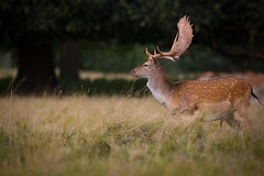 Fallow Deer Buck (Dama dama) (Joe Turner - www.joeturnerphotography.co.uk) Tags: fallow deer buck wildlife wild canon 5d mark iii 400mm f4 do is usm nrg photographic