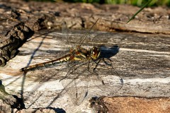 black darter (f) (Suzie Noble) Tags: dragonfly blackdarter blackdarterdragonfly strathglass struy horseshoebog bog water field insect