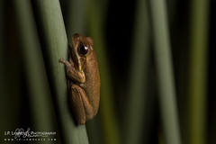 Cooloola Tree Frog (J.P. Lawrence Photography) Tags: 2016 amphibians amphibia amphibian anura anuran australia australia2016 cooloolatreefrog frog frogs greatsandynationalpark hylidae herp herpetology herps hylid litoria litoriacooloolensis queensland salientia spring2016 travel treefrog vertebrates vertebrata vertebrate