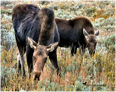 DID YOU KNOW ... (Aspenbreeze) Tags: moose cowmoose calfmoose youngbullmoose wyomingwildlife wildlife nature wildanimal animals outdoors rural country bevzuerlein aspenbreeze moonandbackphotography