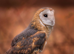 Barn Owl Profile (*~ Nature's Gifts Captured  ~*) Tags: barnowl raptor predator tamihrycak nature owl naturesgiftscaptured wildlife outdoors creative photoshop nikond4s closeup profile portrait bird wildnewjersey justnewjersey njspots specanimal