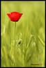 AMAPOLA / POPPY (DIAZ-GALIANO) Tags: amapola poppy rojo red flor flower spain madrid canon 7d diazgaliano 70200 verde green primavera spring kenzo