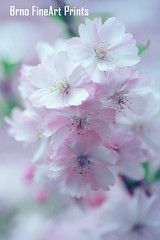 Angel of Spring (Jenny Rainbow (jenny-rainbow.pixels.com)) Tags: jennyrainbowfineartphotography spring sakura cherry flowers floral bloom blossom pink flora floralart springbloom springblossom sakurabloom sakurablossom pinkflowers lightness green greenleaves springfeeling petals vertical fineartphotography artforhome floraldesign manyflowers nacro macroflowers cherrybloom cherryblossom dream dreamy lightdream blue