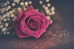 Romantic rose (RoCafe) Tags: pentacon50mmf18 rose flower vintage romantic bokeh nikond600 stilllife purple softfocus dark textured