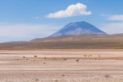 Vicuas (fabioresti) Tags: vicuas vigogna vigogne arequipa puno canoneos80d 55250 per 2016 panorama