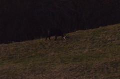 2.12.16. Gemse unterhalb Chilchzimmer. (dreistrahler) Tags: luchs baselland eap swiss airshows zoobasel langeerlen zrh natur hunter fcbasel fasnacht blche