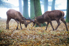 Early Morning Touche (paulinuk99999 (lback to photography at last!)) Tags: paulinuk99999 bushy park london surrey wildlife red deer stag antlers rut rutting woodland sal135f18z httpswwwflickrcomgroupszeisslensespooltagssonnar13518za