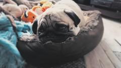 Snug as a pug in a rug (ross edwin) Tags: pugs pug dog dogs cute animal animals sleep sleepy cosy chill